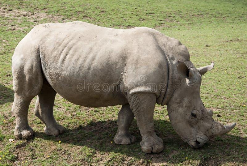 Lone Rhino royalty free stock photos