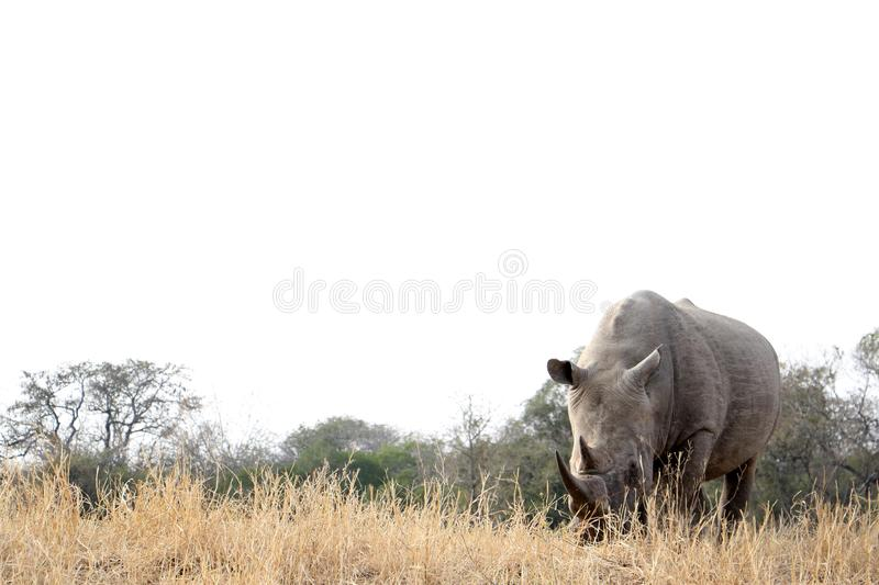 Lone rhino stand in dry bush stock photos