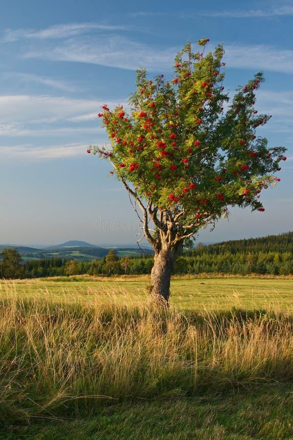 A lone rowan tree on a mountain meadow royalty free stock photography