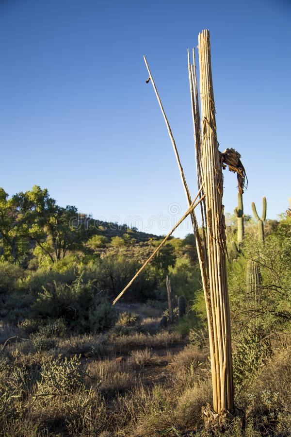 Lone sagurao skeleton against the sky stock photography