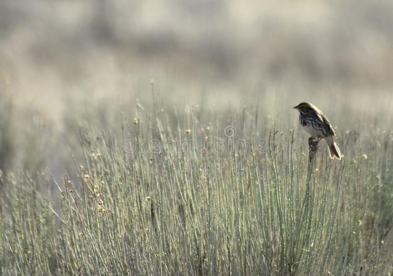 Savannah Sparrow in the Fields stock image