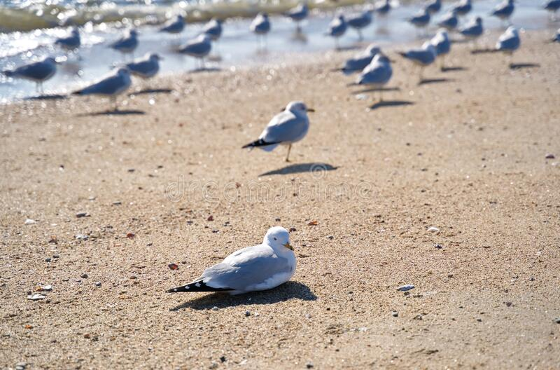 Lone seagull on beach lying on sand. Unlike the rest of the standing crowd royalty free stock photos