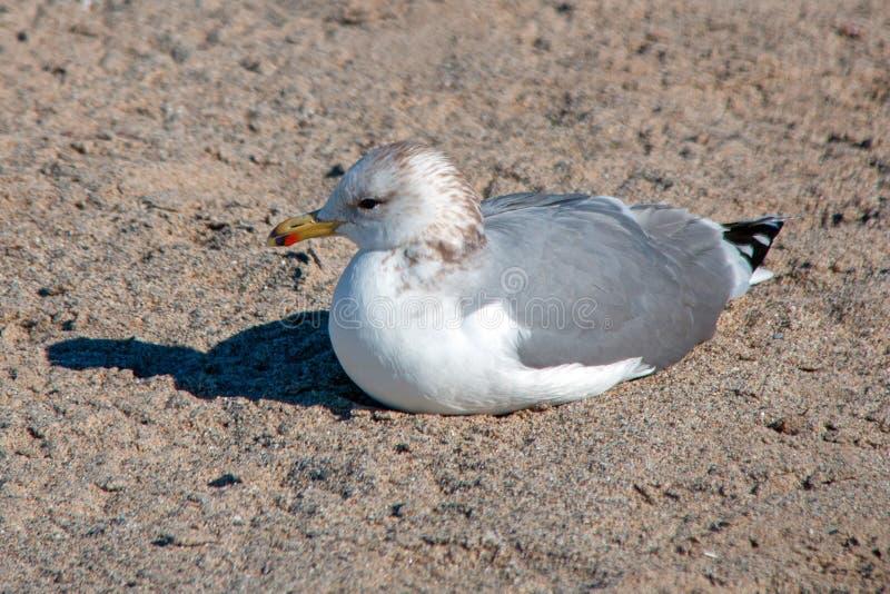 Lone Seagull [Laridae] sitting in the sand at McGrath state park marsh - Santa Clara river - Ventura California USA. Lone Seagull [Laridae] sitting in the sand stock photos