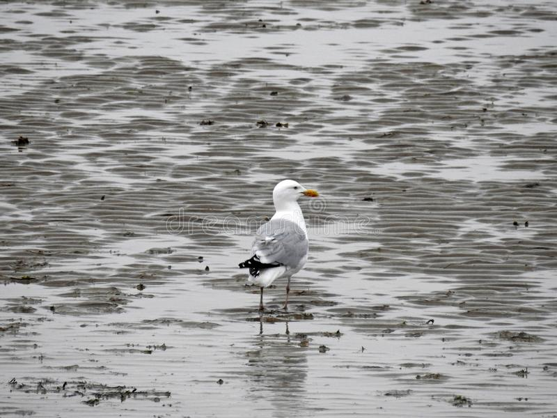 Lone seagull looking for food at low tide royalty free stock photo