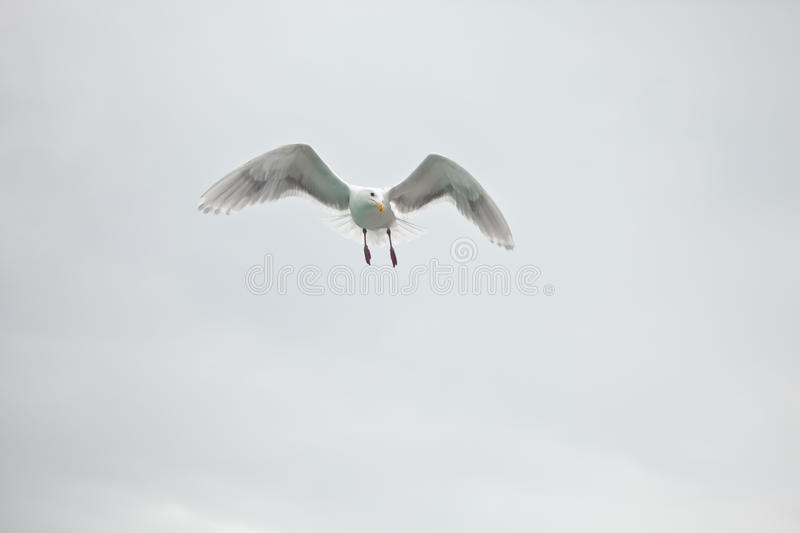 Lone Seagull Stock Images