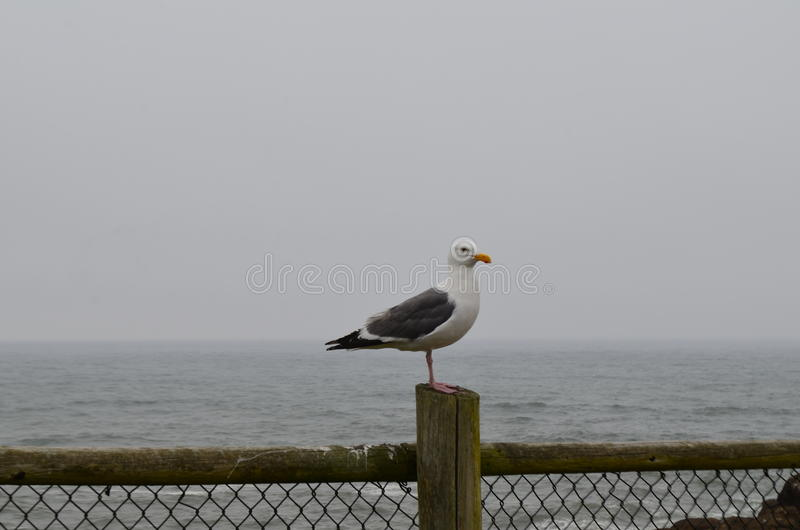 The Lone Seagull. A lone seagull on the Oregon Coast stock photography