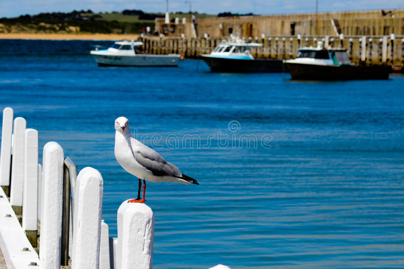 Lone seagull on pier. This lone seagull was resting on the pier at Warrnambool beach with boats in the background stock photos