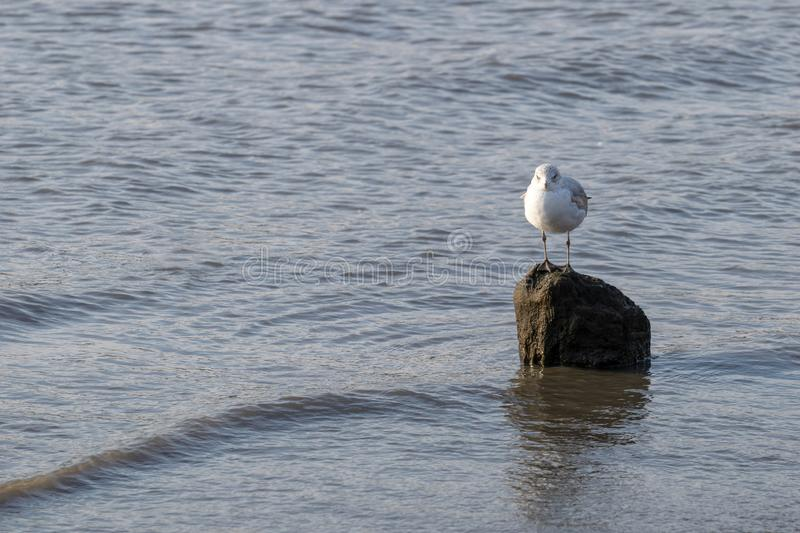 Lone seagull standing on a rock in the shallow waters of the East River. A lone seagull standing on a rock in the shallow waters of the East River royalty free stock photo