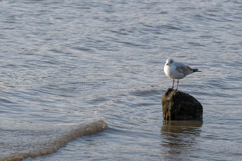 Lone seagull standing on a rock in the shallow waters of the East River. A lone seagull standing on a rock in the shallow waters of the East River royalty free stock image