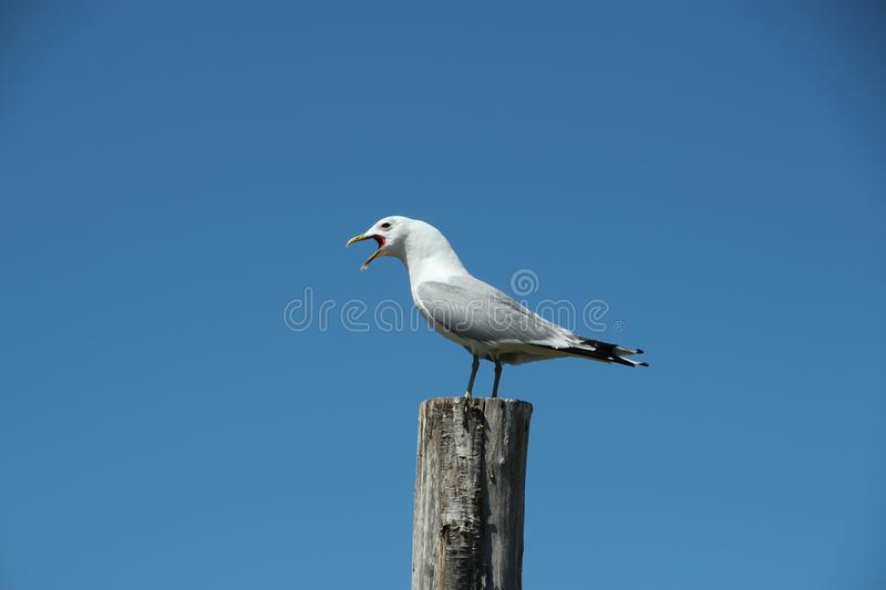A lone seagull stands on a pole stock images