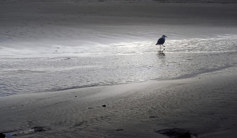 A lone seagull walks along the deserted ocean shoreline royalty free stock photo