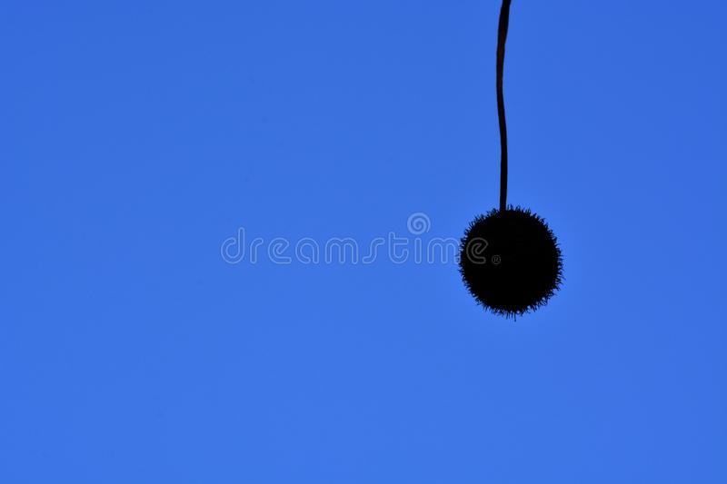 Seed pod against blue sky royalty free stock photography