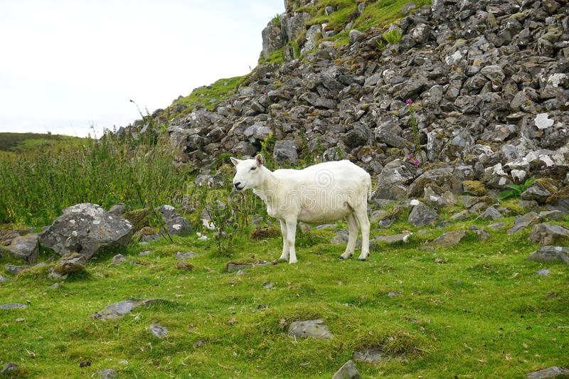 A lone sheep grazes on a rocky mountainside in rural Scotland. Its wool has been recently sheared leaving it with a short white coat royalty free stock photo