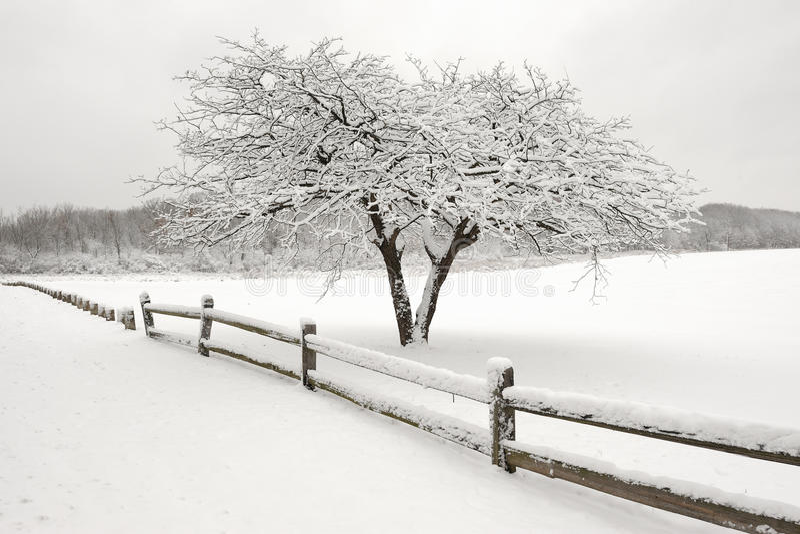 lone snowtree arkivbild