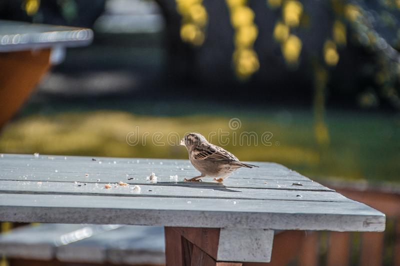 A lone Sparrow steals bread crumbs. Ornithology. Sparrow. looking for food. the bird on the table royalty free stock image