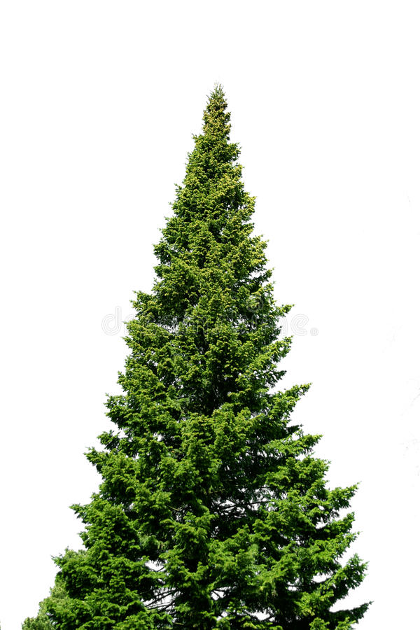 Download Lone spruce tree on white stock image. Image of lone - 11352675