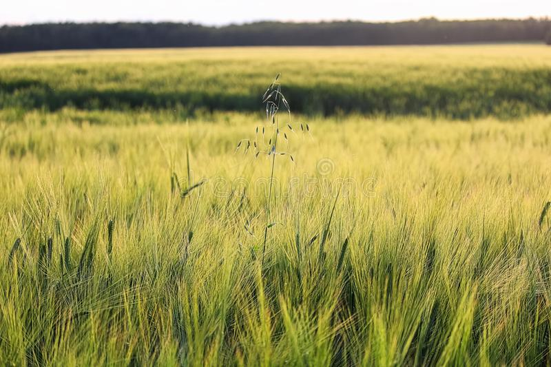 A lone stalk wild oats in a field of barley.  stock images