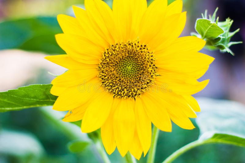 Lone Sunflower. A lone Sunflower is a decorative flower , it is very beautiful . the photo was taken in the summer on a canon 550d royalty free stock photos