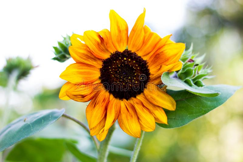 Lone Sunflower royalty free stock images