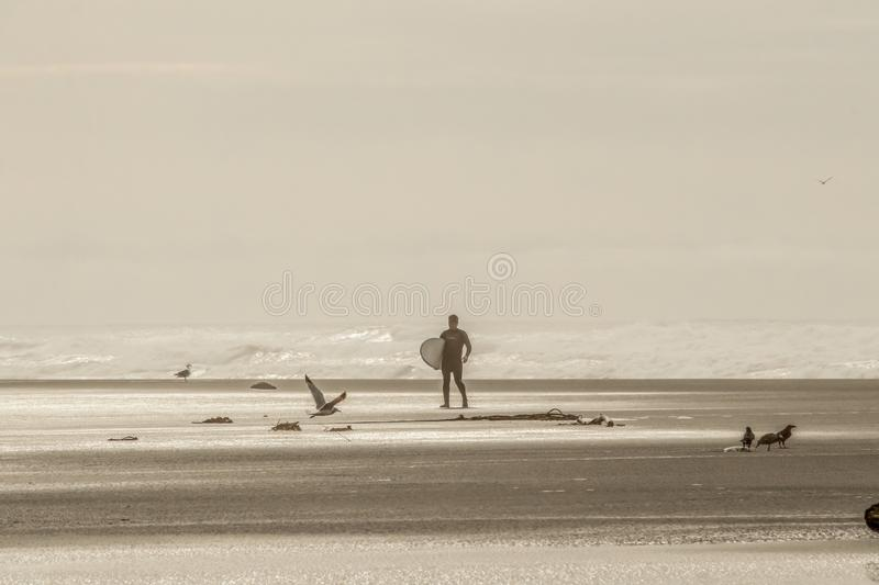 A lone surfer in wet suit returning to beach from ocean with birds standing and flying and a rope washed up onto the shore - Sepia stock photography