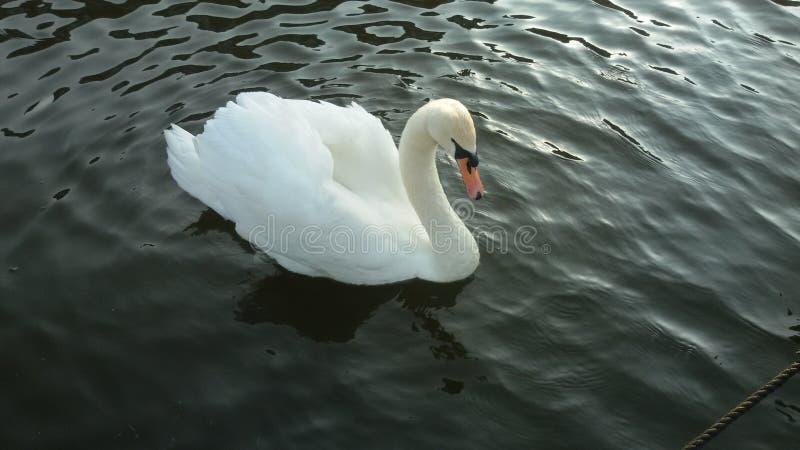 lone swan royaltyfri foto