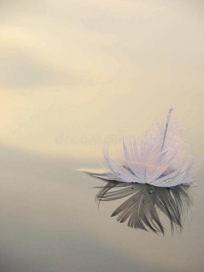 Lone Swan Feather on Lake at Sunset. A lone swan feather floats on perfectly still water at sunset stock image
