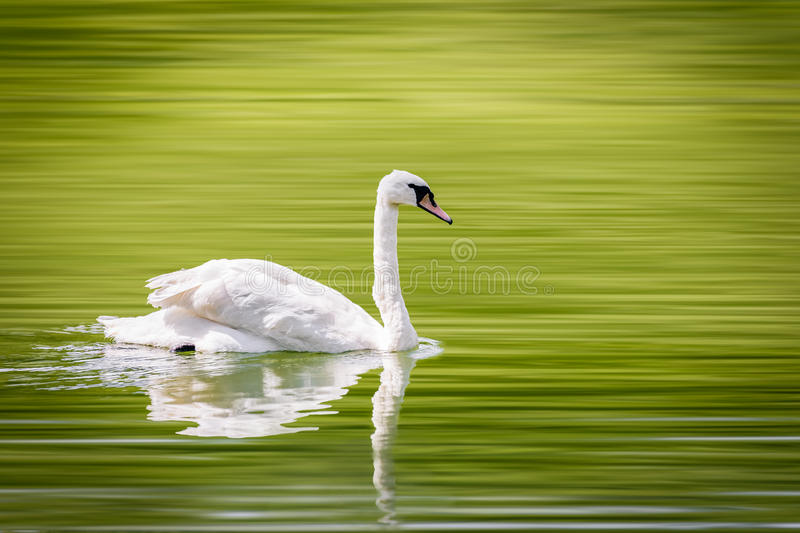 A lone swan swims peacefully in a small lake. With selective blur I rendered ethereal lake water royalty free stock photos