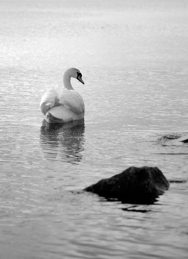 Lone swan on the water stock images