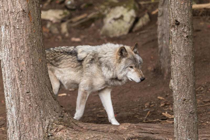 A lone Timber Wolf in a forest stock photos
