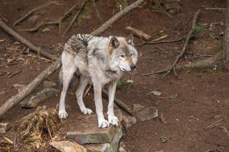 A lone Timber Wolf in a forest stock photo