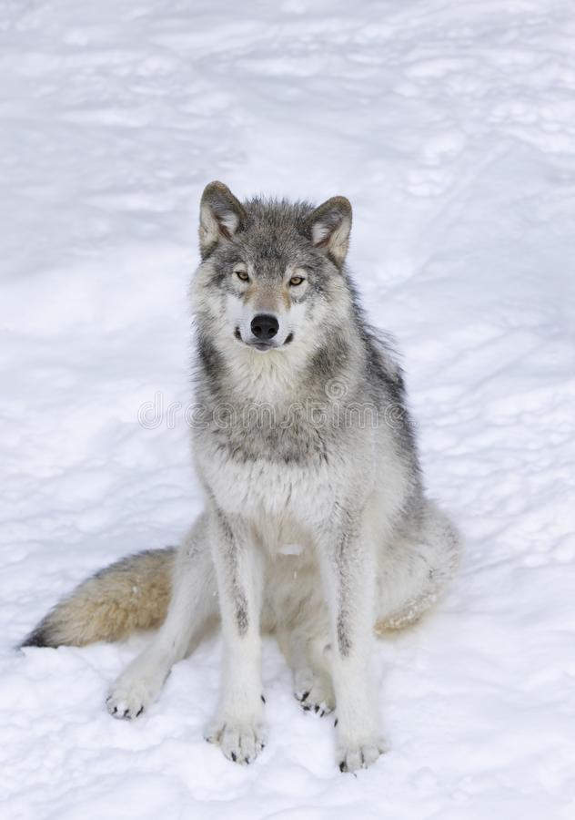 Lone Timber wolf or Grey Wolf Canis lupus isolated on white background sitting in the winter snow in Canada. A lone Timber wolf or Grey Wolf Canis lupus isolated royalty free stock photo