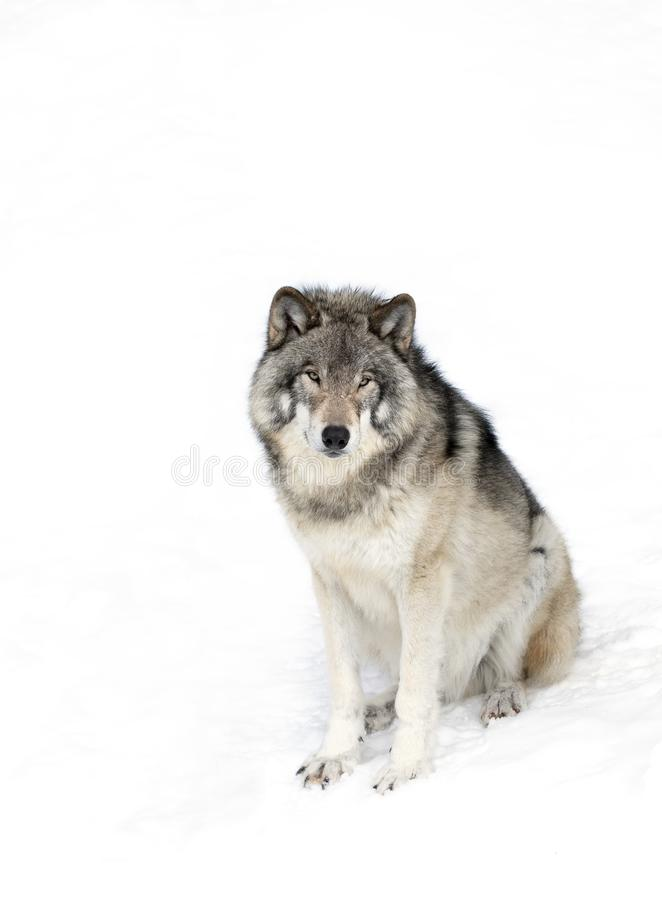 Lone Timber Wolf or Grey Wolf Canis lupus isolated on white background sitting in the winter snow in Canada. A lone Timber Wolf or Grey Wolf Canis lupus isolated stock image