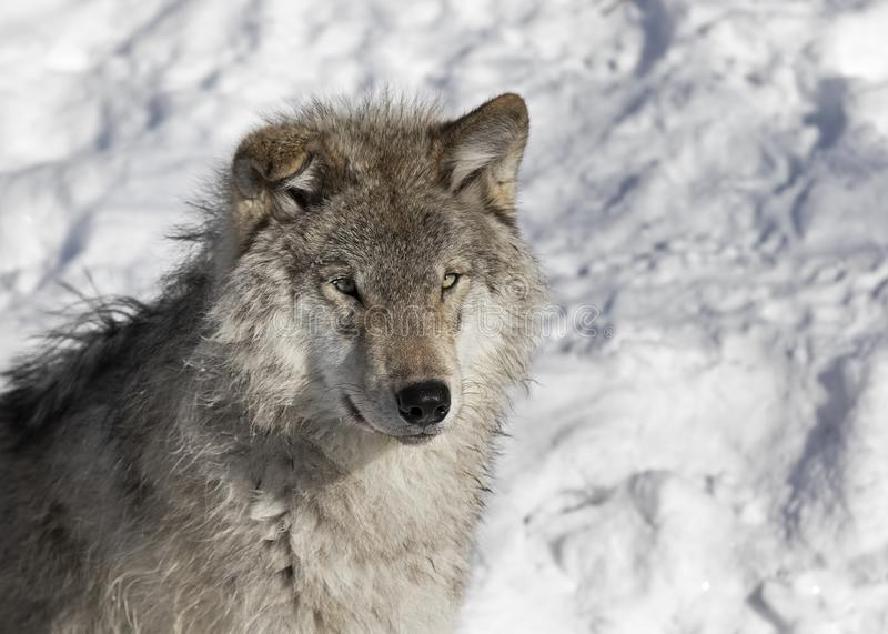Lone Timber wolf or Grey Wolf Canis lupus isolated on white background standing in the winter snow in Canada. A lone Timber wolf or Grey Wolf Canis lupus royalty free stock image