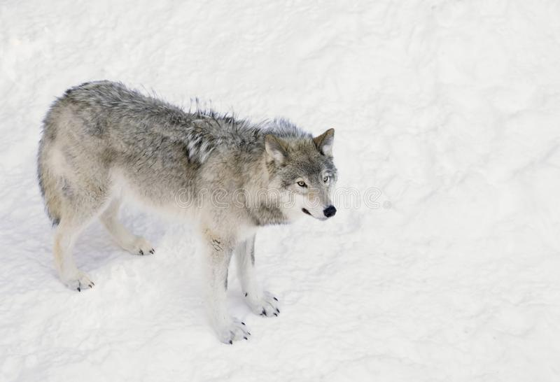 A A lone Timber wolf or Grey Wolf Canis lupus isolated on white background standing in the winter snow in Canada. A lone Timber wolf or Grey Wolf Canis lupus royalty free stock photos