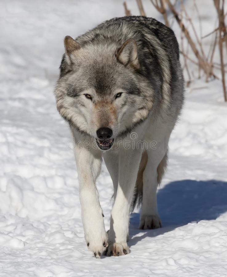Timber wolf or Grey Wolf Canis lupus isolated on white background standing in the winter snow in Canada. A lone Timber wolf or Grey Wolf Canis lupus isolated on stock images
