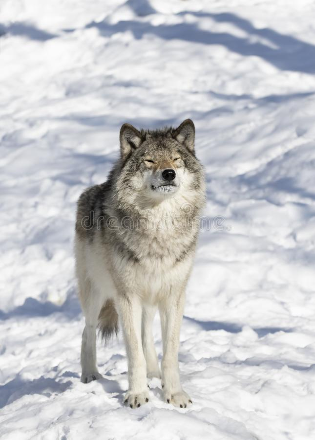 Lone Timber wolf or Grey Wolf Canis lupus isolated on white background standing in the winter snow in Canada. A lone Timber wolf or Grey Wolf Canis lupus stock photo