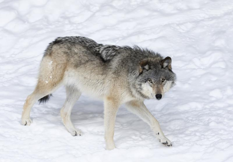 Lone Timber wolf or Grey Wolf Canis lupus isolated on white background walking in the winter snow in Canada. A lone Timber wolf or Grey Wolf Canis lupus isolated stock image