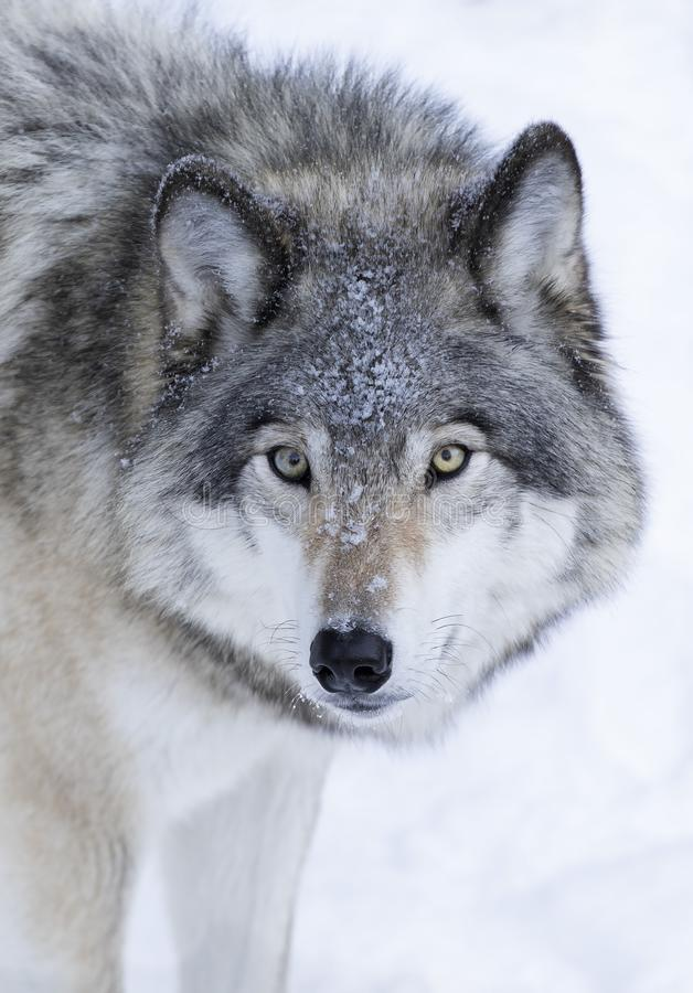 Lone Timber wolf or Grey Wolf Canis lupus isolated on white background walking in the winter snow in Canada. A lone Timber wolf or Grey Wolf Canis lupus isolated royalty free stock photography
