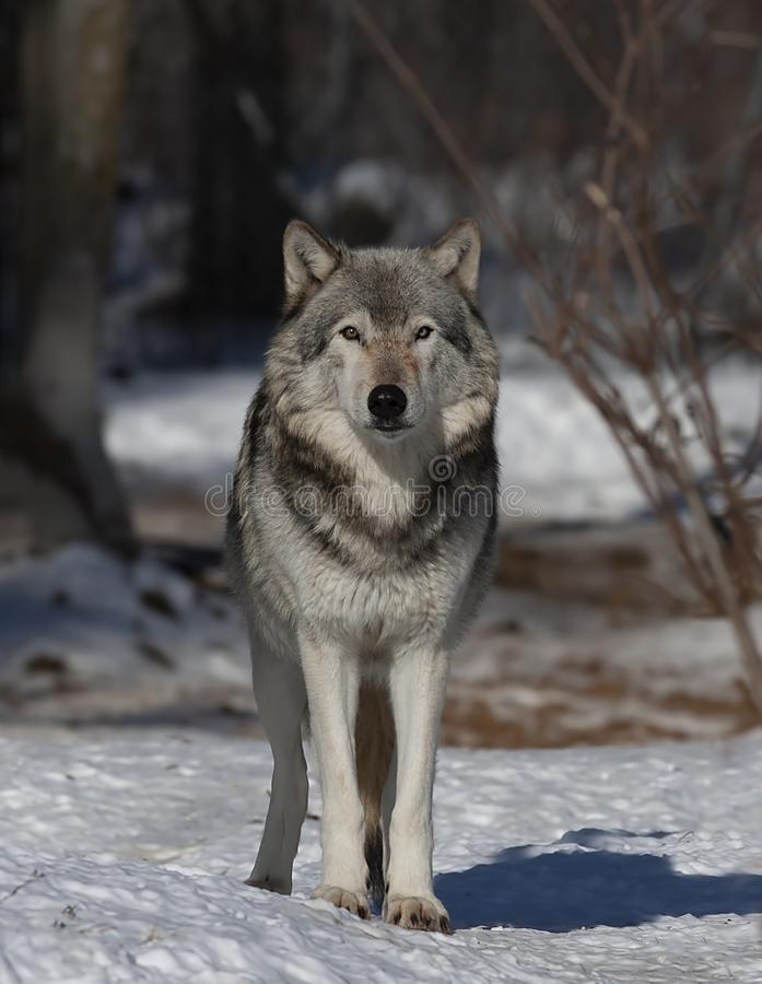 Lone Timber Wolf or Grey Wolf Canis lupus walking in the winter snow in Canada. A lone Timber Wolf or Grey Wolf Canis lupus walking in the winter snow in Canada royalty free stock photos