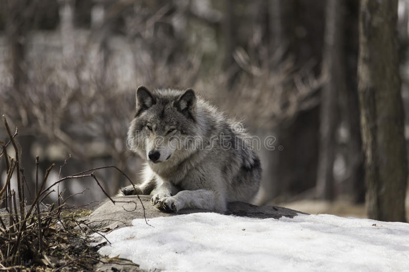 A lone timber wolf royalty free stock images