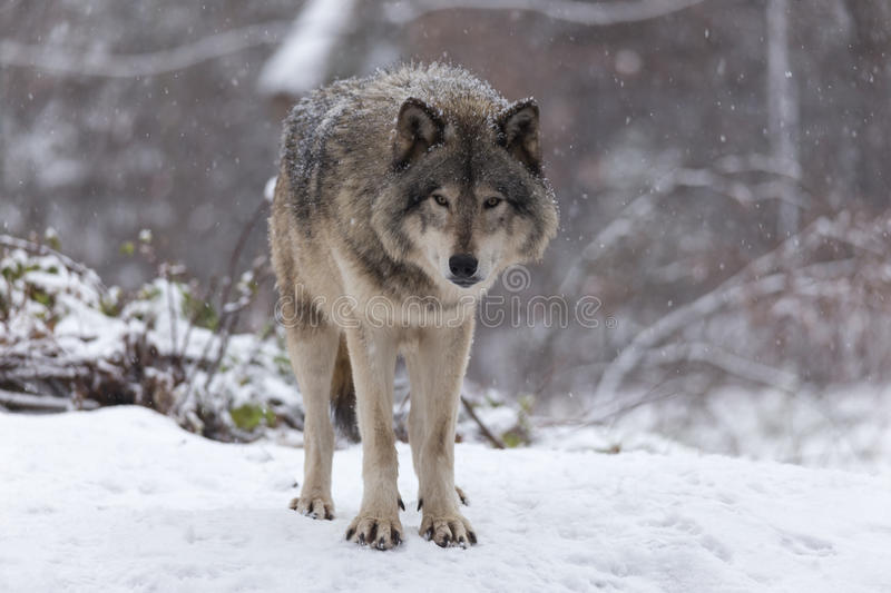 Lone timber wolf in a winter scene stock photography