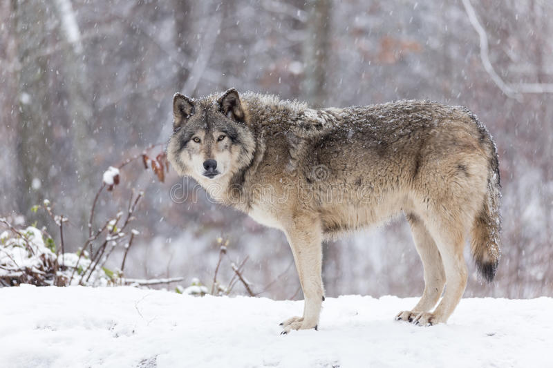 Lone timber wolf in a winter scene stock image