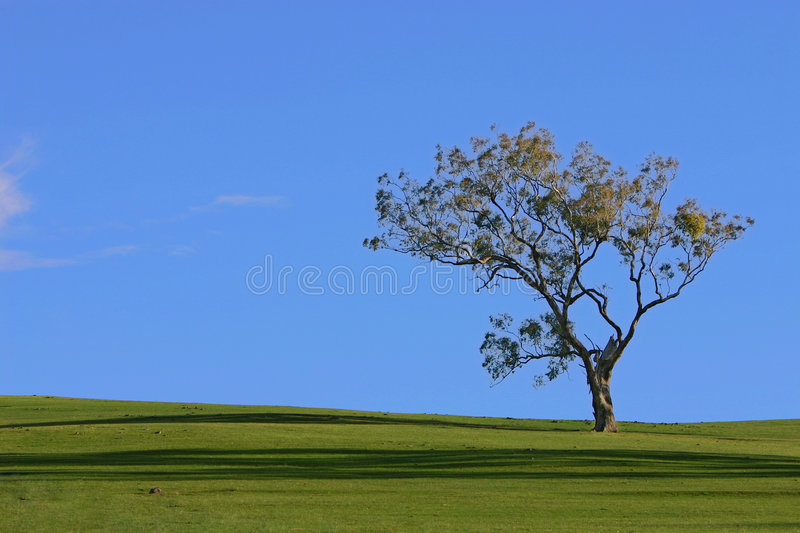 Lone Tree. An Australian landscape containing a gum tree in a grass green field with a bright blue sky. Perfect for a desktop or wallpaper
