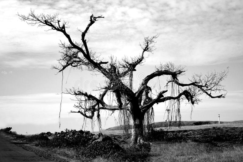 The Lone Tree. A grayscale image of a lone tree on a barren landscape royalty free stock image