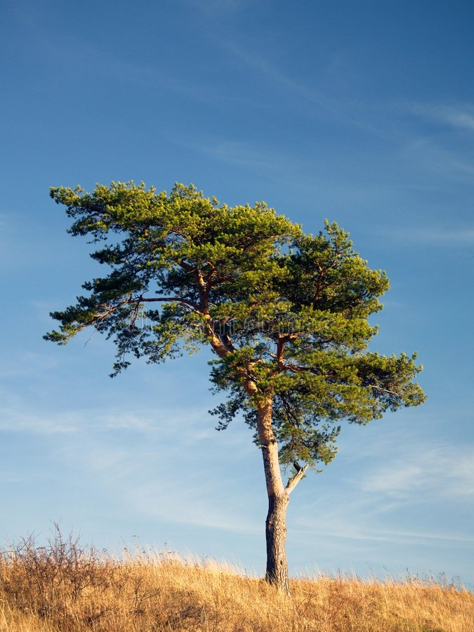 Lone tree. A lone tree in a meadow with blue sky behind stock photo