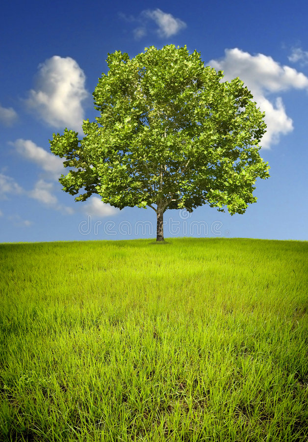 Lone tree royalty free stock photos