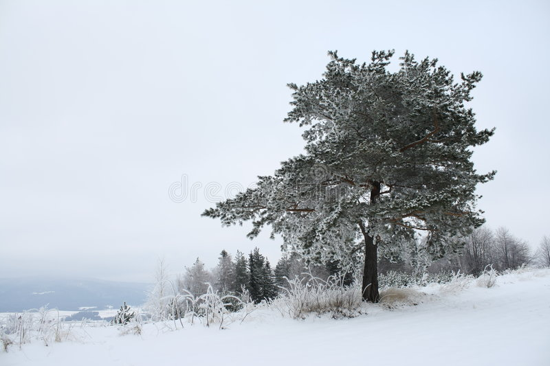 Lone tree. At the top of the snow-covered mountains royalty free stock photos