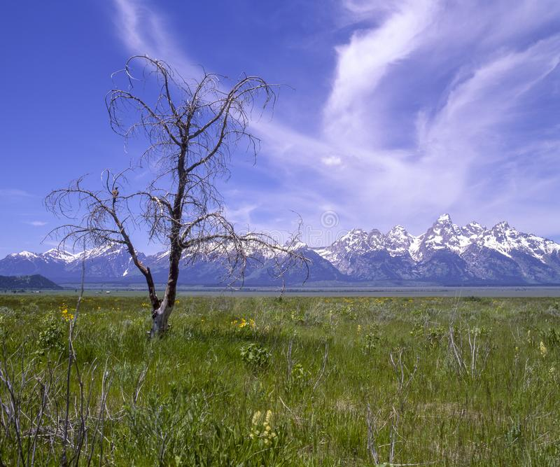 Lone tree with bird in the Tetons. Landscape view of a lone tree with the Grand Teton Mountains in the background and a bird in the tree stock photos