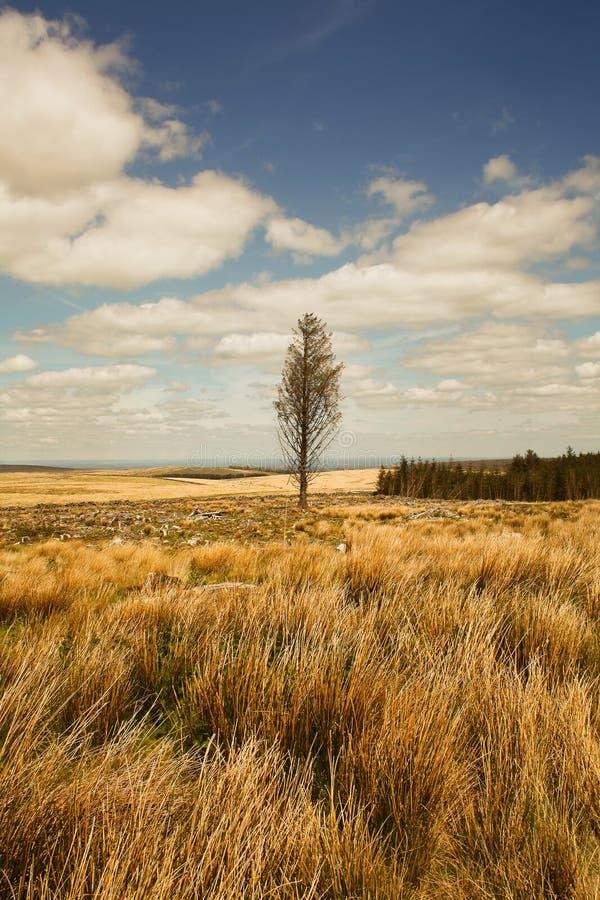 Lone Tree on Dartmoor National park,  Devon ,Uk. Fenworthy, britsworthy royalty free stock images