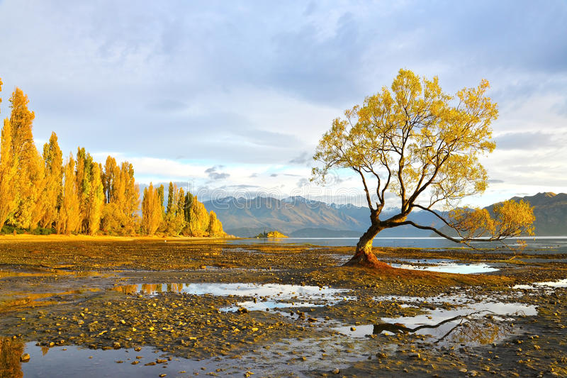 The lone tree dawn. The lone tree of wanaka in the morning stock image